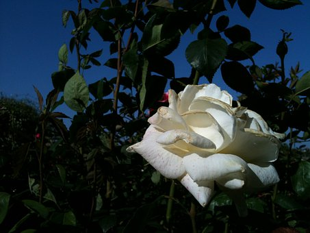 White, Roses, Flowers, Blossoms, Blooms, Blooming