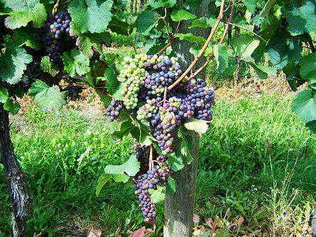 Grape, Fruit, Cluster Crop