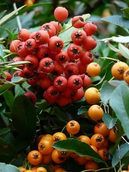 Firethorn, Fruits, Berries, Hybrid, Orange, Red, Bush