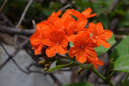 Geiger-tree, Flower, Cordia Sebestena, Orange