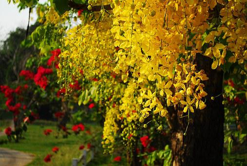 Cassia Fistula, Golden Shower Tree, Thai Flower