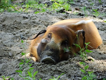 Red River Hog, Pig Family, Pig, Mammal, Porcus, Hog