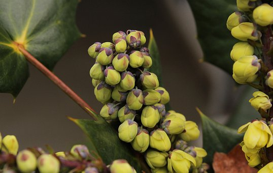 Oregon Grape Holly Flower Buds, Winter Flowers, Mahonia