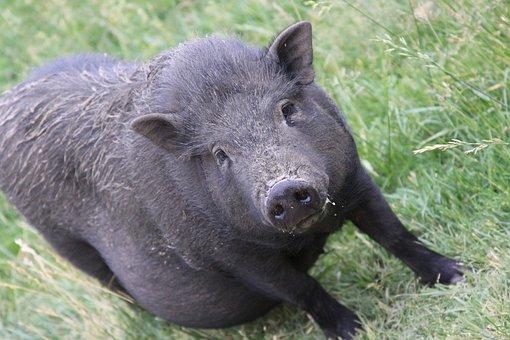 Hog, Pig, Swine, Piglet, Sow, Livestock, Mammal, Boar