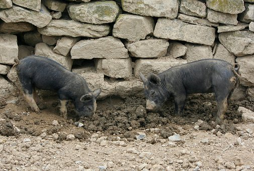 Piglets, Shoats, Pigs, Hogs, Young, Mud