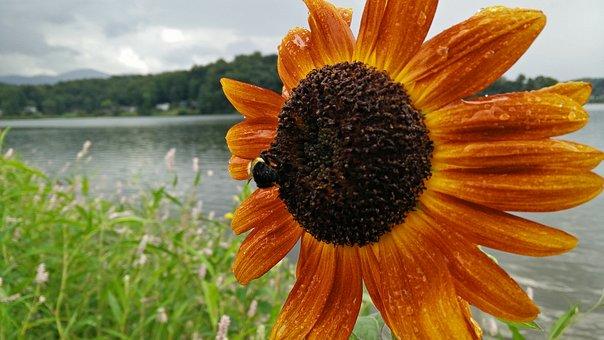Sunflower, Rain, Bee, Wet, Flower, Bumble, Orange