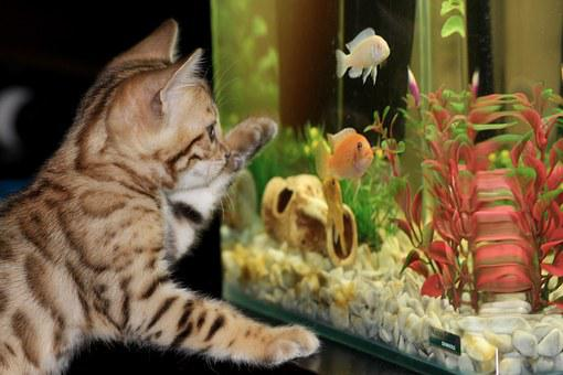 Kitten, Aquarium, Bengal, Pet