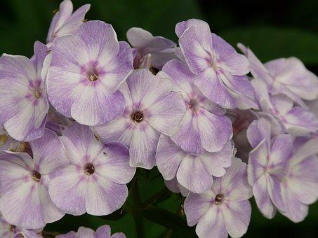 High Perennial Phlox, Phlox Paniculata