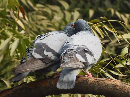 Birds, Pigeons, Siva301in