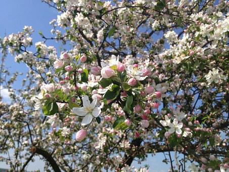 Tree, Flowers, Apple Tree, Spring, Pink, Pink Flower