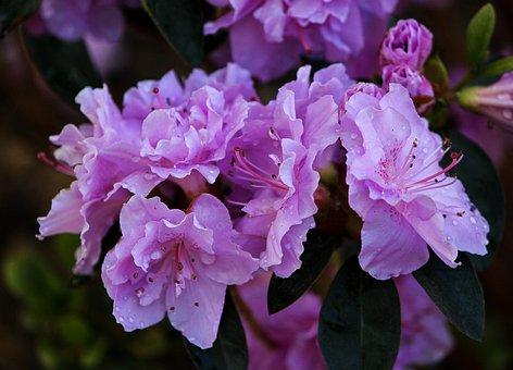 Purple Azaleas, Blossoms, Flowers, Shrub, Evergreen