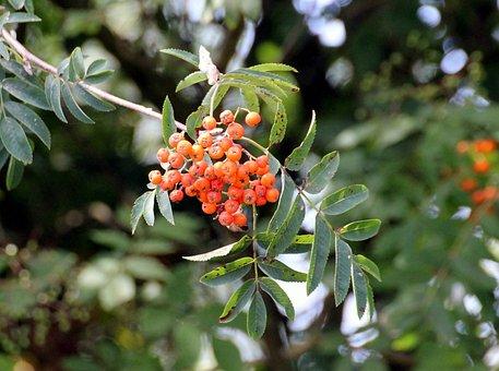 Firethorn, Pyracantha, Evergreen Shrubs, Rose Family