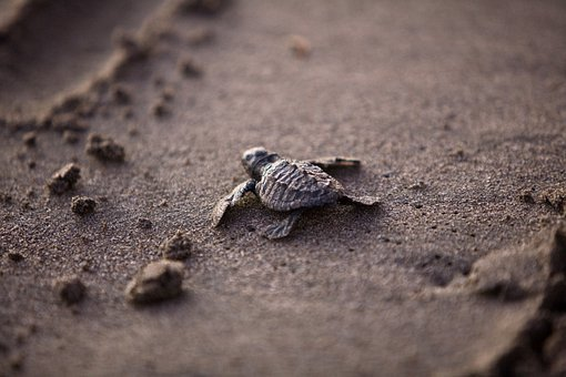 Sea Turtle, Baby, Young, Survival, Beach, Sea Life