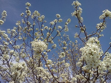 Apple, Blossoms, White, Flowers, Blooms, Tiny, Bunch