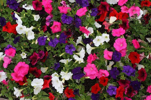 Petunia, Flowers, Colorful, Small, White, Pink, Blue