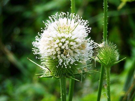 Milk Thistle, Wildflower, Agra Plant