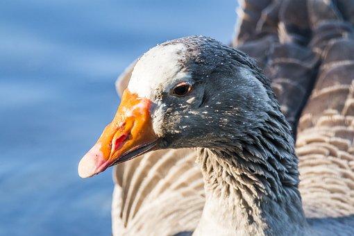 Oca, Ave, Animals, Pond, Bird, Animal, Common Goose