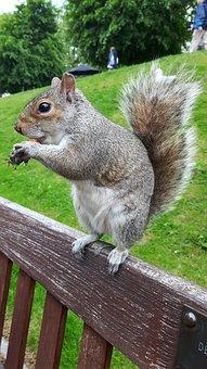 Grey Squirrel, Squirrel, Rodent, Animal, Grey, Gray