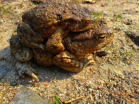 A Toad, Ampleksus, Nature, The Frog, Animal, Amphibian