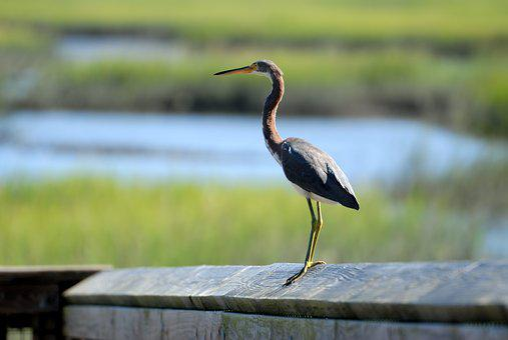 Tri Colored, Egret, Bird, Avian, Wading Bird
