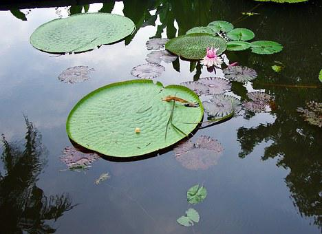 Sri Lanka, Basin, Lotus, Water Lily, Water, Reflections