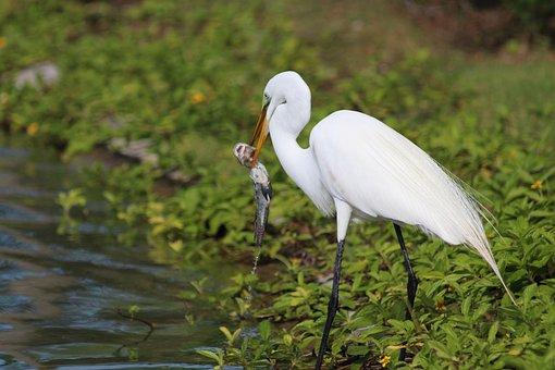 Heron, Birds, Beak, Green Background, Feathered Race