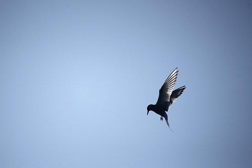 Common Tern, Bird, Himmel, Flying, Crystal Clear