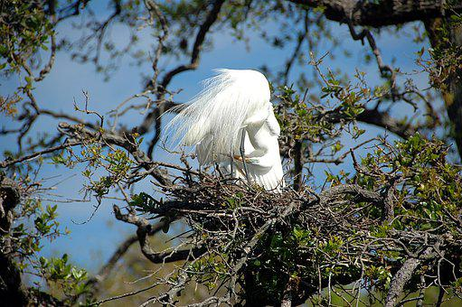Great White Heron, Egret, Bird, Avian, Nesting, Nest