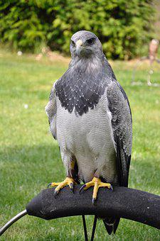 Bird, Bird Of Prey, Animal, Common Buzzard, Valk