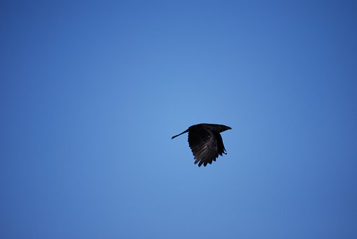 Raven, Bird, Birds, Black, Crow, Carrion Crow, Dig, Sky