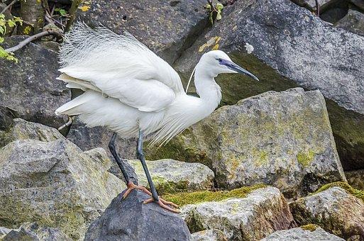 Little Egret, Nature, Birds, Waterfront