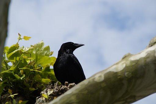 Raven, Crow, Carrion Crow, Raven Bird, Bird, Black