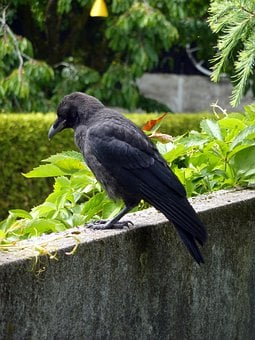 Bird, Black, Crow, Dig, Fly, Carrion Crow, Raven Bird