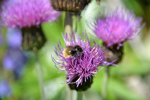 Mountain Bumblebee, Thistle, Blossom, Bloom, Close