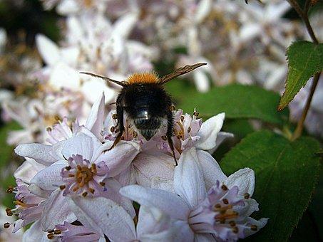 Hummel, Bumblebees, Bombus, Drones, People