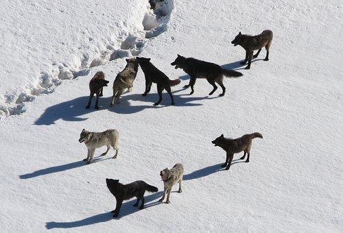 Wolves, Wolf Pack, Canis Lupus, Predator, Carnivora