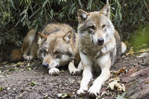 Wolves, Canis Lupus, Two Wolves, European Wolf