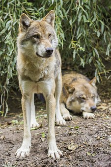 Wolves, Canis Lupus, European Wolf, Wild Animal