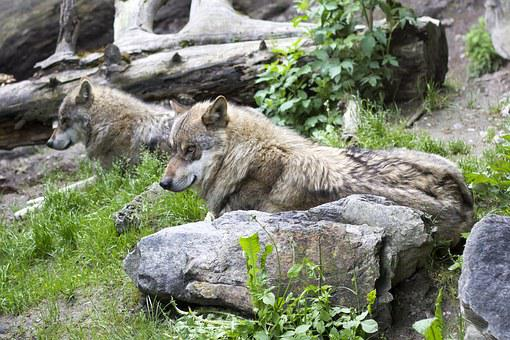 Wolves, Canis Lupus, European Wolf, Predator, Zoo