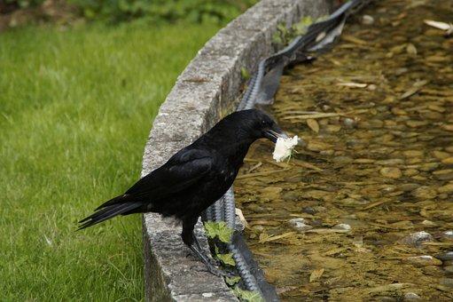 Raven, Carrion Crow, Prey, Captured, In Beak, Eat