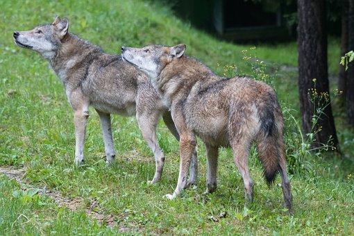 Wolf, Wolves, European Wolf, Carnivores, Predator