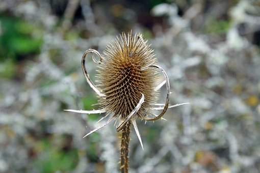 Thistle, Autumn, Brown, Dry, Civitella Alfedena