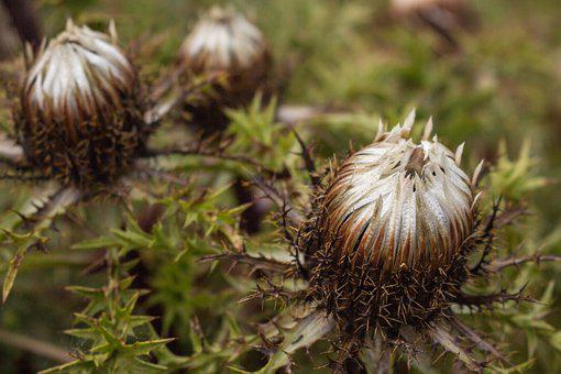Silver Thistle, Closed, Protected Plant