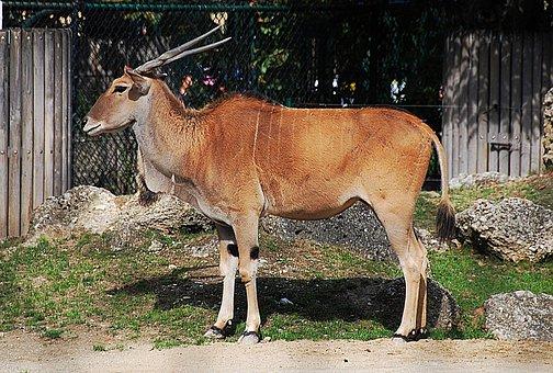 Antelope, Zoo, Common Eland, Horn Animal