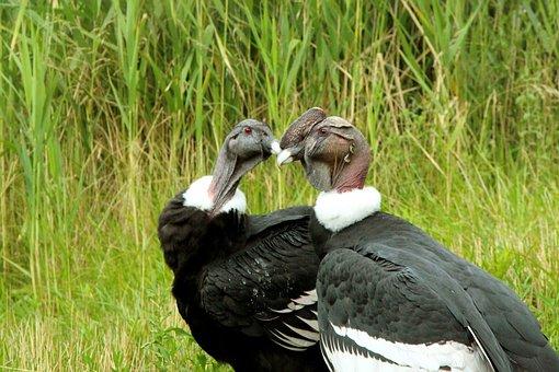 Condor, Condors, Andean Condor, Bird, Big Bird
