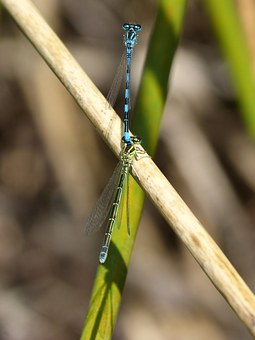 Dragonflies, Insect Breeding, Copulation, Mating
