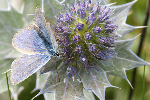 Common Blue Butterfly, Sea Holly, Cornwall, Butterflies