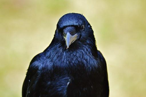 Raven, Crow, Raven Bird, Black, Bird, Fly, Bill, Animal