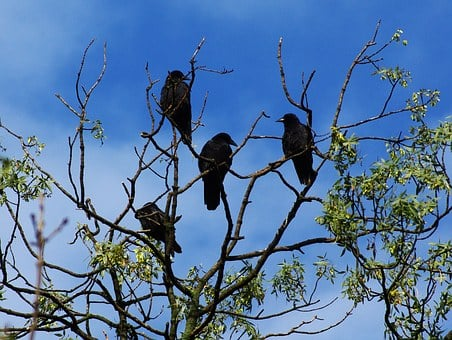 Raven, Bird, Animal, Tree, Sky, Crow, Raven Bird, Black