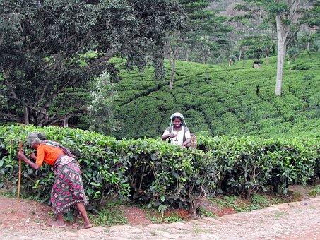 Sri Lanka, Cueuilleuses, Tea, Plantation, Collection